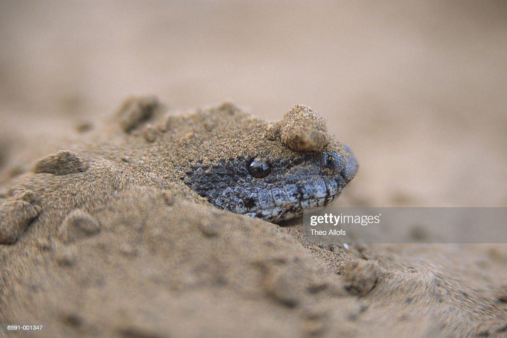 Sand Boa Hiding in Sand : Stock Photo