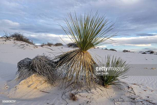 sand covered yucca - don smith stock pictures, royalty-free photos & images