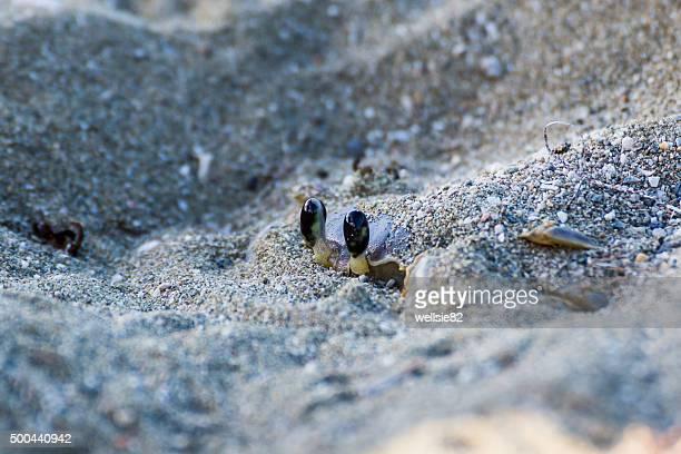 Sand crab hiding