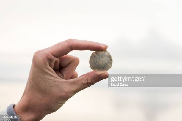 A sand dollar is held between a womans fingers.