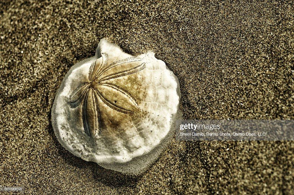 Sand dollar on the beach : Stock Photo