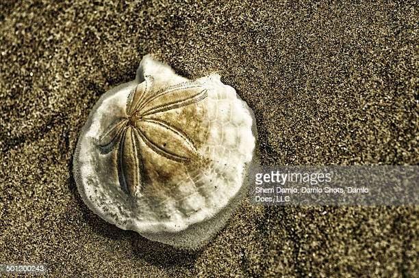 sand dollar on the beach - damlo does imagens e fotografias de stock