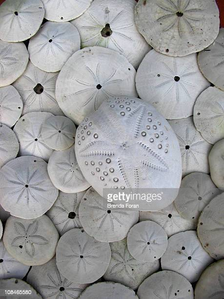 sand dollars - coffs harbour stock pictures, royalty-free photos & images