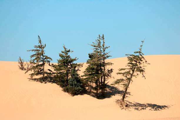 Sand dune surrounds isolated stand of trees in Oregon Dunes National Recreation Area