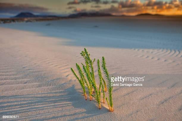 Sand dunes, near Corralejo, Fuerteventura, Canary Islands, Spain, Atlantic, Europe