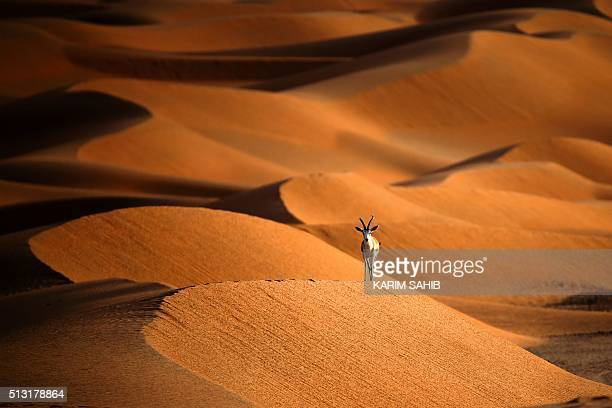 TOPSHOT A sand gazelle is seen at the Arabian Oryx Sanctuary in Umm AlZamool some 290 kilometres south of Abu Dhabi near the border with Oman and...