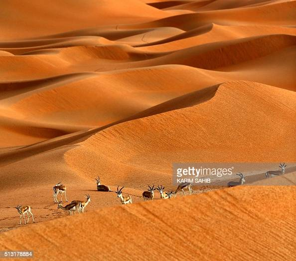 Sand gazelles are seen at the Arabian Oryx Sanctuary in ...