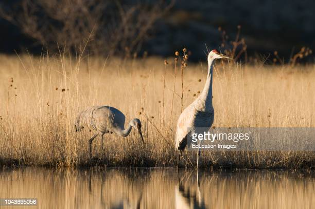 Sand hill Cranes Grus canadensis pair Bosque del Apache New Mexico USA