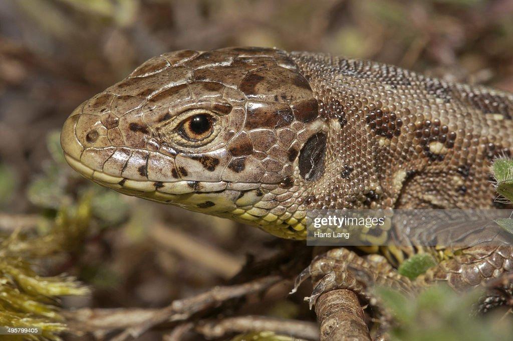 Sand Lizard -Lacerta agilis-, female, Untergroningen, Abtsgmuend, Baden-Wurttemberg, Germany : Stock Photo