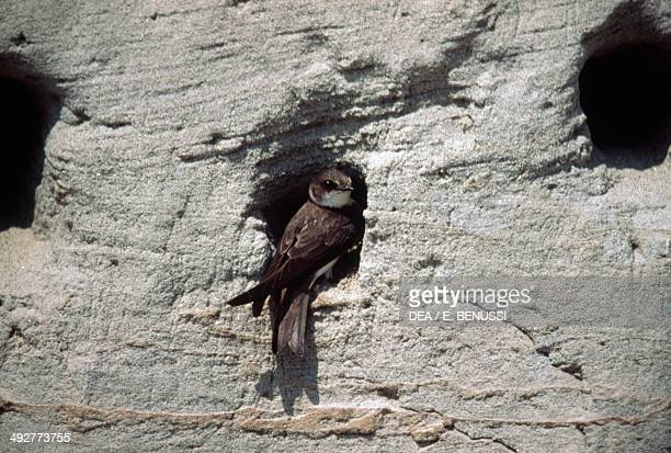 Sand martin or Bank swallow Hirundinidae