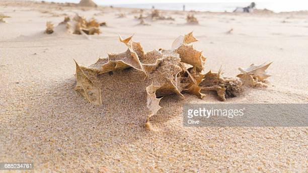 sand plants, saint palais sur mer, france