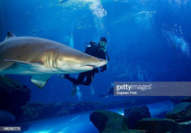 Sand tiger shark and diver