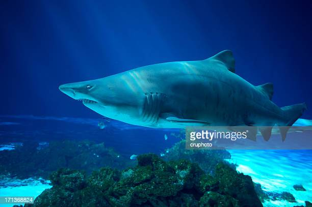 sand tiger shark - carcharias taurus - tiger shark stock photos and pictures