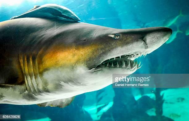 sand tiger shark head detail. carcharias taurus - tiger shark - fotografias e filmes do acervo