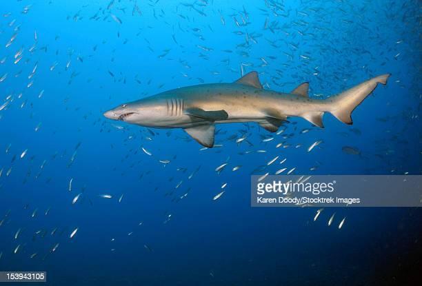 sand tiger shark in blue water off coast of north carolina. - tiger shark - fotografias e filmes do acervo