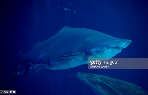 A sand tiger shark is pictured on July 10 2013 in Stralsund's oceanarium Germany AFP PHOTO / STEFAN SAUER /GERMANY OUT