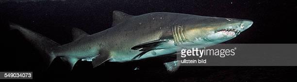 Sand tiger shark, Odontaspis taurus, South Africa, Port Elizabeth, Ibhayi, Madiba Bay, Indian Ocean