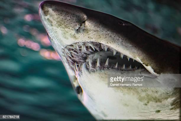 sand tiger shark - tiger shark - fotografias e filmes do acervo