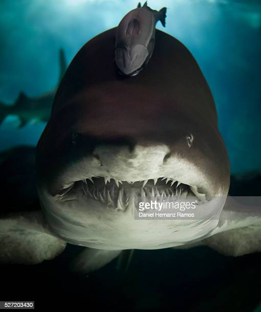 60 Top Sand Tiger Shark Pictures, Photos, & Images - Getty ...  60 Top Sand Tig...