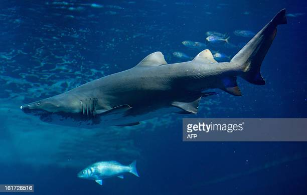A sand tiger shark swims in an aquarium at the aqua zoo in Stralsund Germany on February 14 2013 Sand tiger sharks live close to the shorelines and...