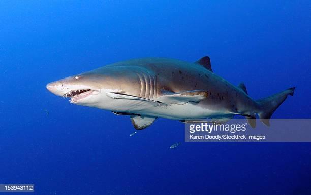 sand tiger shark with remoras in mid-water off coast of north carolina. - tiger shark - fotografias e filmes do acervo