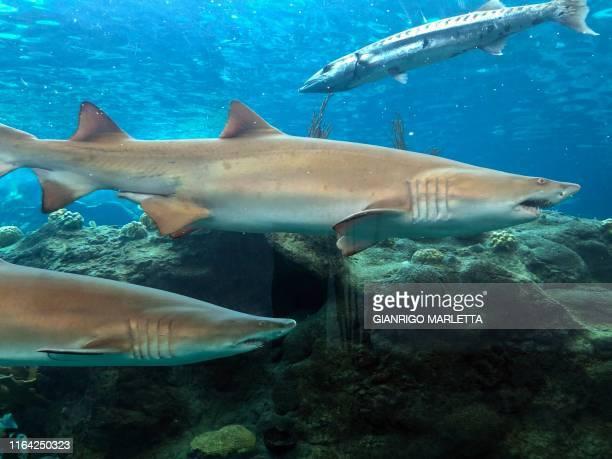 Sand Tiger sharks and a barracuda swim in a tank at the Florida Aquarium exposing Floridas natural ecosystem on August 22 at Apollo Beach Florida A...