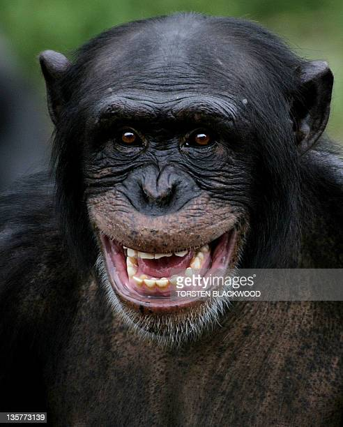 Sandali the chimpanzee calls out for his Christmas treat of flavoured pine cones and frozen fruit at Taronga Zoo in Sydney 23 December 2004 The...