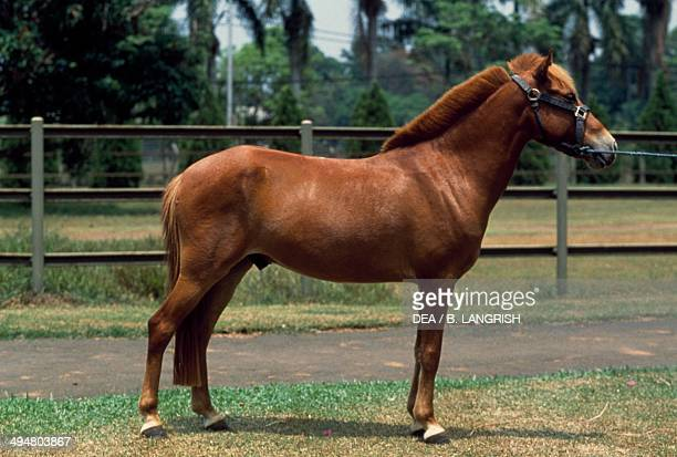 Sandalwood pony Equidae