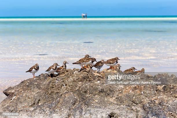 Sanderling birds (Calidris alba) on idyllic beach on Holbox Island, Cancun, Yucatan, Mexico