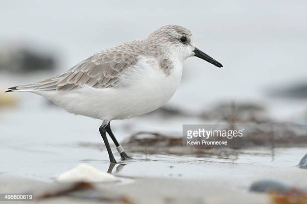 sanderling -calidris alba- on a beach in search of food, dune island, helgoland, schleswig-holstein, germany - schleswig holstein stock pictures, royalty-free photos & images