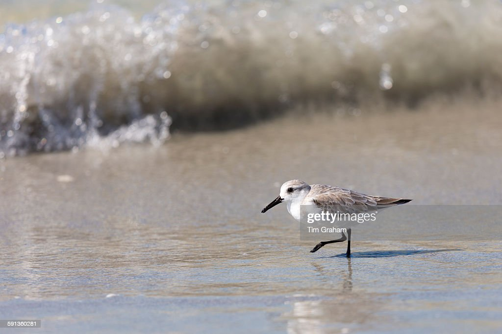 Sanderling at Captiva Island, Florida, USA : News Photo