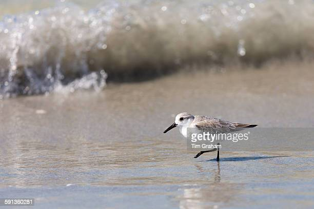 Sanderling Calidris alba one of the wading shorebirds stepping in the surf on beach shoreline at Captiva Island Florida USA