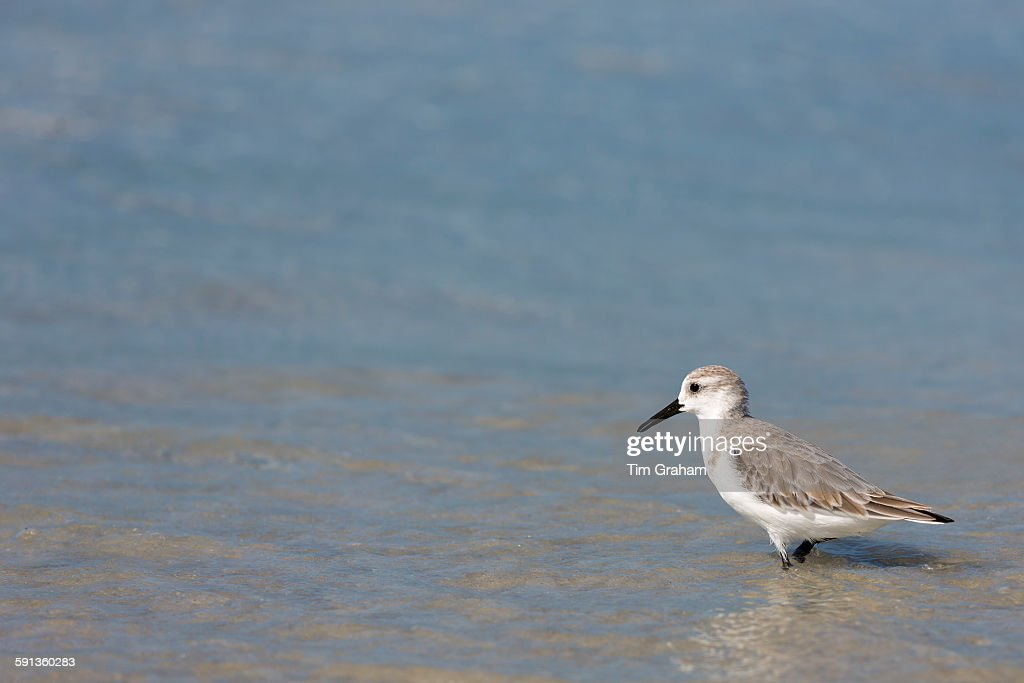 Sanderling at Captiva Island, Florida, USA : News Photo