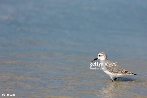 Sanderling Calidris alba one of the wading shorebirds stepping in the surf on shoreline at Captiva Island Florida USA