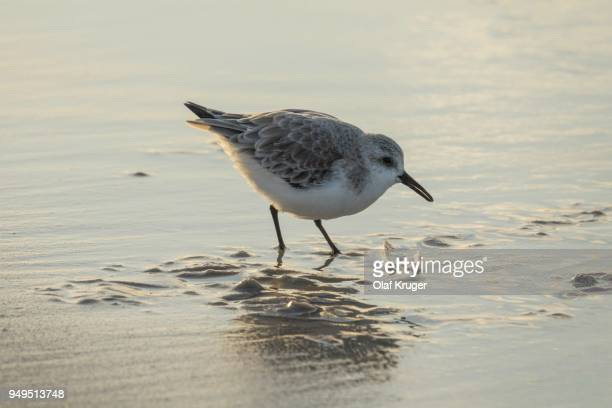Sanderling (Calidris alba) in shallow water at the beach searching for food, Sylt, Nordfriesland, Schleswig-Holstein, Germany