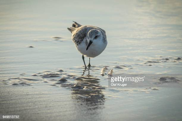 Sanderling (Calidris alba) in shallow water at the beach, Sylt, Nordfriesland, Schleswig-Holstein, Germany