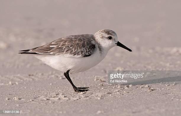 sanderling (calidris alba) on sandy beach  siesta key, florida, usa - siesta key stock pictures, royalty-free photos & images