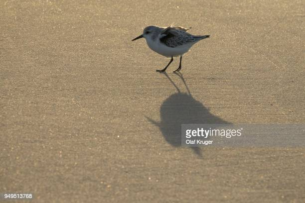 Sanderling (Calidris alba) on the beach with shade, Sylt, Nordfriesland, Schleswig-Holstein, Germany