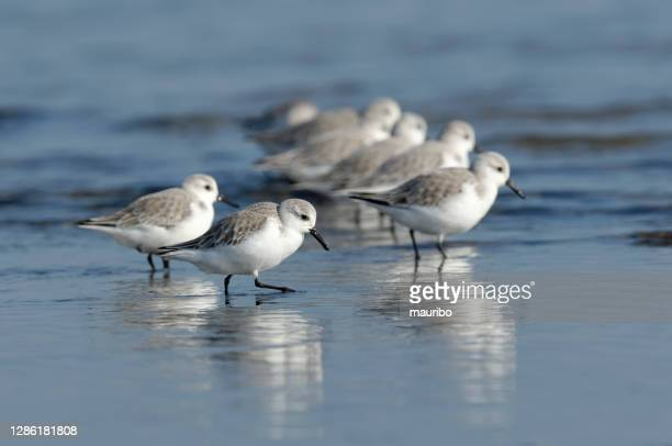 sanderling (alba calidris) - waders stock pictures, royalty-free photos & images