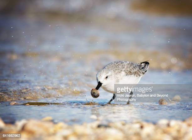 sanderling with shell at caumsett state park - huntington suffolk county new york state stock pictures, royalty-free photos & images