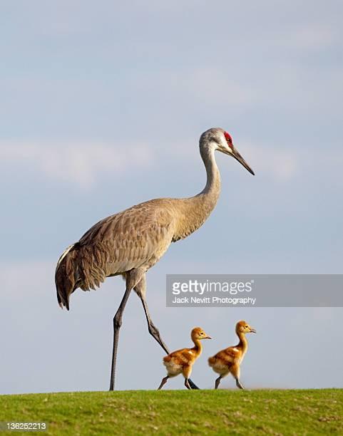 Sandhill Crane and chicks