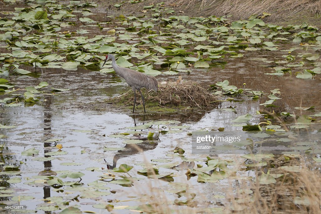 Sandhill Crane at Nest : Stock Photo