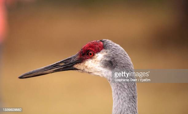 sandhill crane bird grus canadensis forages for food in the marsh at the myakka river state park - florida us state stock pictures, royalty-free photos & images