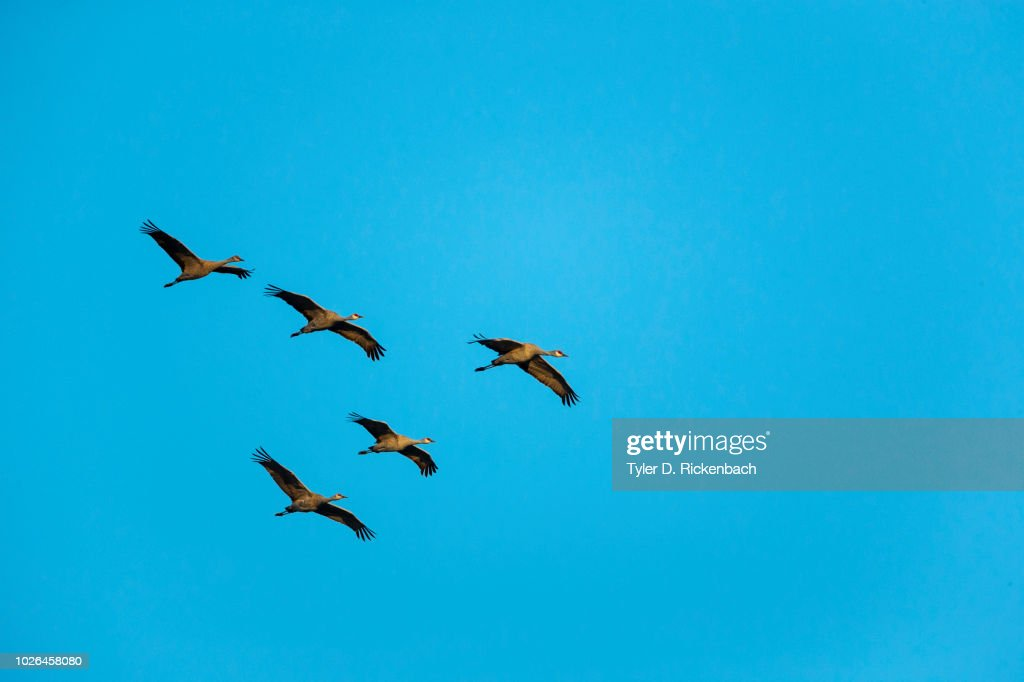 Sandhill crane (Antigone canadensis) birds against clear sky, Kearney, Nebraska, USA : Stock Photo