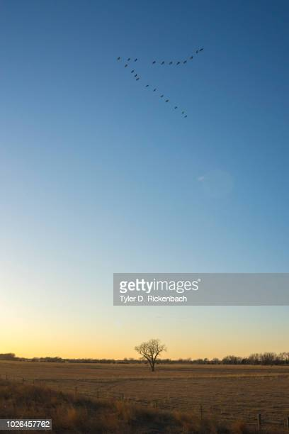 Sandhill crane (Antigone canadensis) birds in V-formation at sunset, Kearney, Nebraska, USA