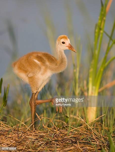 Sandhill Crane Chick Standing On One Leg