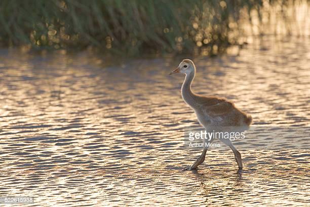 Sandhill Crane Chick Walking in Water