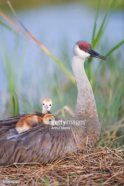 Sandhill Crane Chicks Resting on Mother's Back