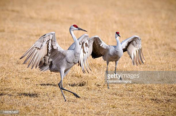 Sandhill Crane (Grus Canadensis) Dancing at the Edge Field