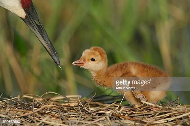 Sandhill Crane Feeding Chick